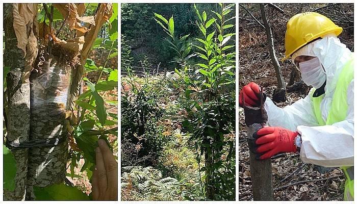 Orman Köylüsüne Yeni Gelir Kapısı Olacak Kestane Aşıları Tuttu