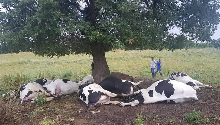 Çanakkale'de yıldırım düştü, 10 inek telef oldu!