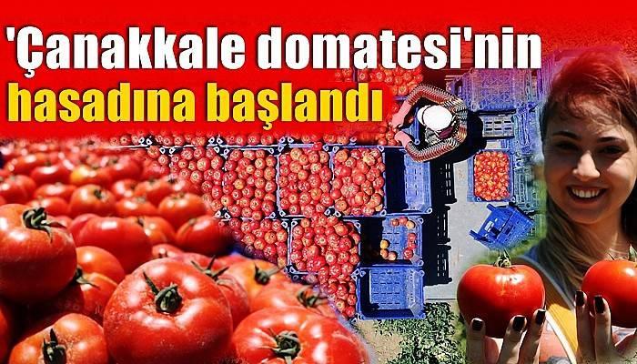 Çanakkale domatesinin hasadına başlandı