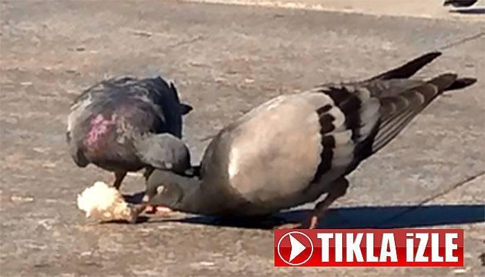 Güvercinlerin ekmek mücadelesi (VİDEO)