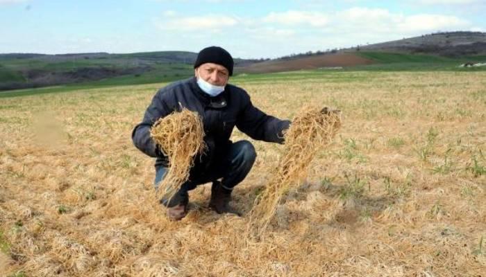 Trakya'da Don Yaşandı Buğday Tarlaları Sarıya Döndü