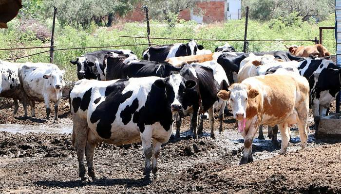 Kaliteli süt teşviki, üreticileri sevindirdi