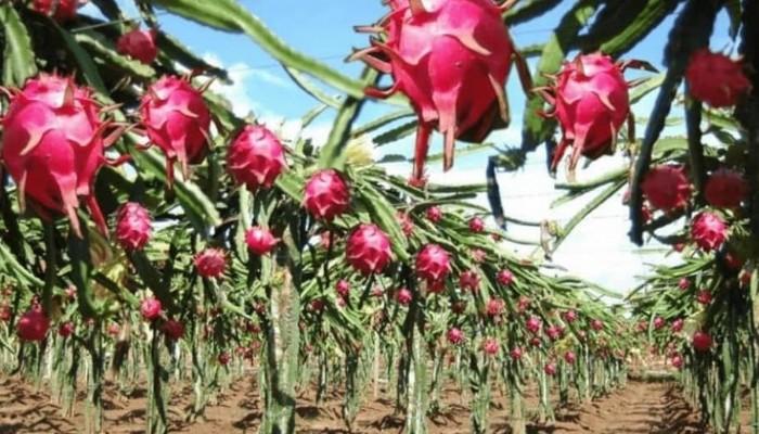 Bir yıl içinde Etnoçıplak Köyü'nde ejder meyvesi satışa hazır olacak