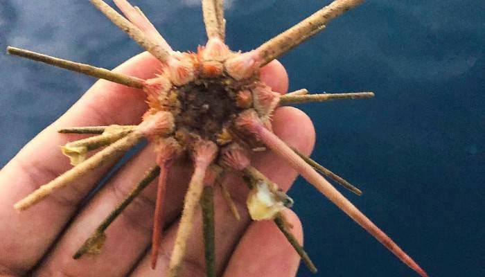 Ender rastlanan deniz kestanesi oltaya takıldı