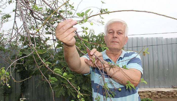Çan'da erik ağacı ikinci kez meyve verdi