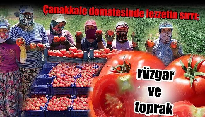 Çanakkale domatesinde lezzetin sırrı; rüzgar ve toprak (VİDEO)
