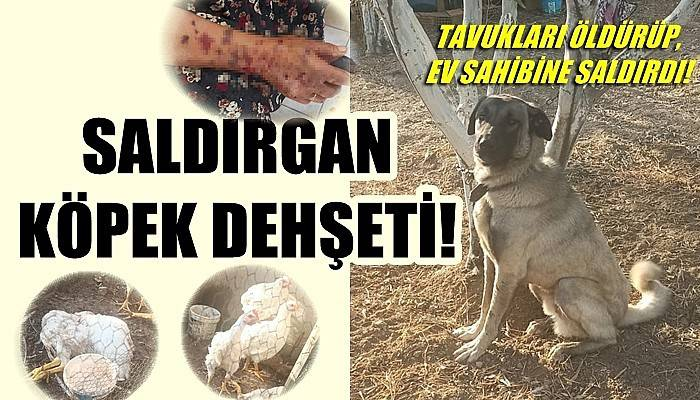 Bozcaada'da Kangal kırması köpek tavukları öldürüp, ev sahibine saldırdı