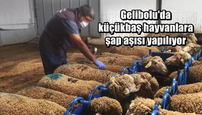 Gelibolu'da küçükbaş hayvanlara şap aşısı yapılıyor
