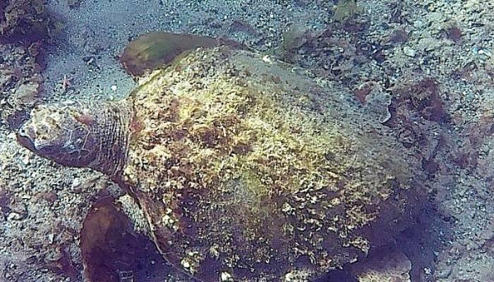 Çanakkale Boğazı'nda deniz kaplumbağası görüntülendi (VİDEO)