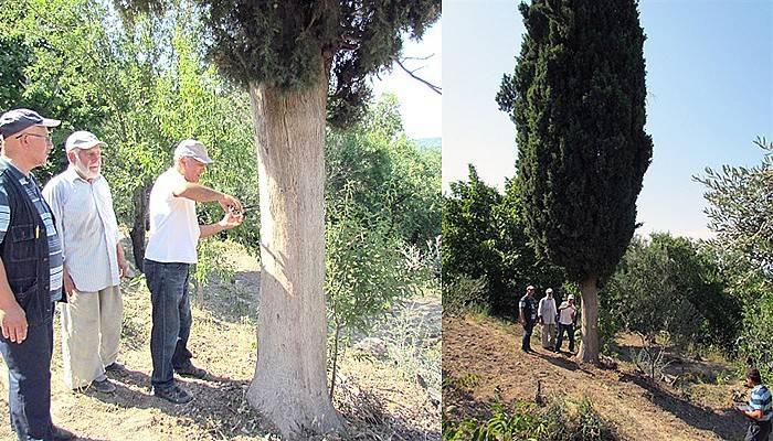 Umurbey'de 2 asırlık servi ağacı