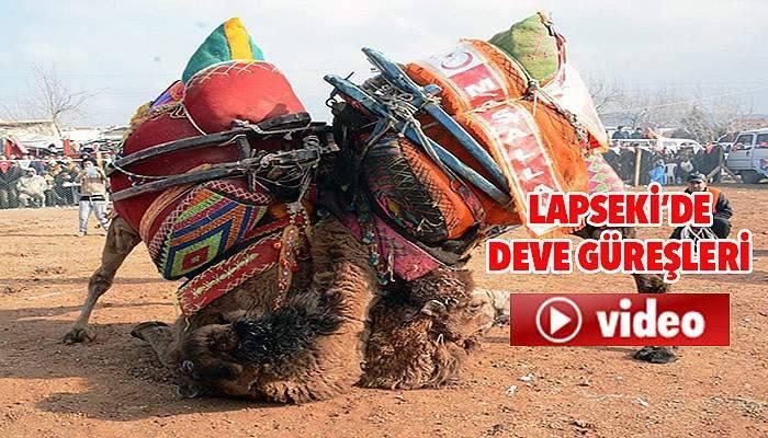Lapseki'de deve güreşi (VİDEO)