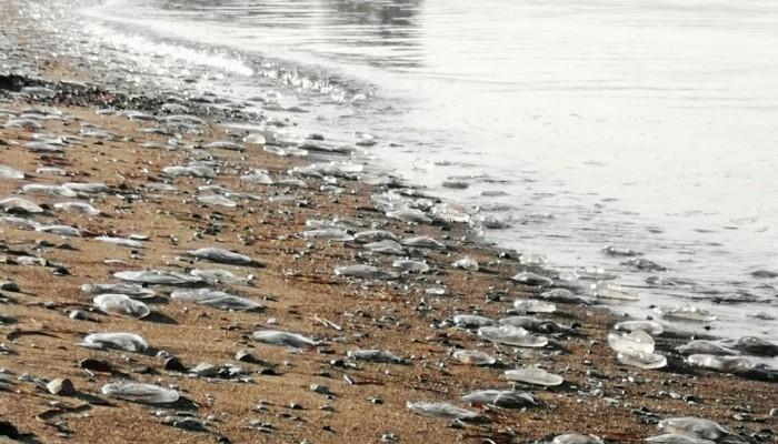 Sahile vuran denizanaları korkuttu