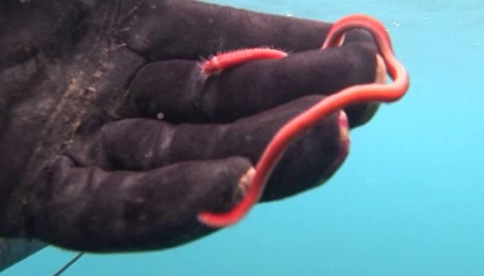 Rekortmen dalgıç, 15 santimlik deniz solucanını görüntüledi (VİDEO)