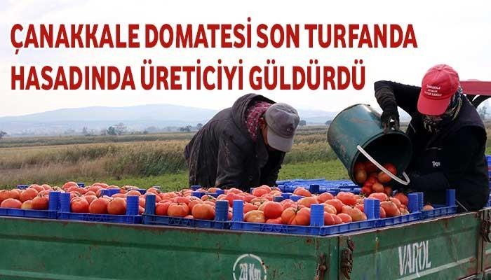 Çanakkale domatesi son turfanda hasadında üreticiyi güldürdü (VİDEO)