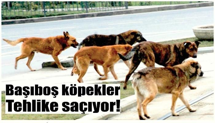 Köpek sürüleri korkutuyor!
